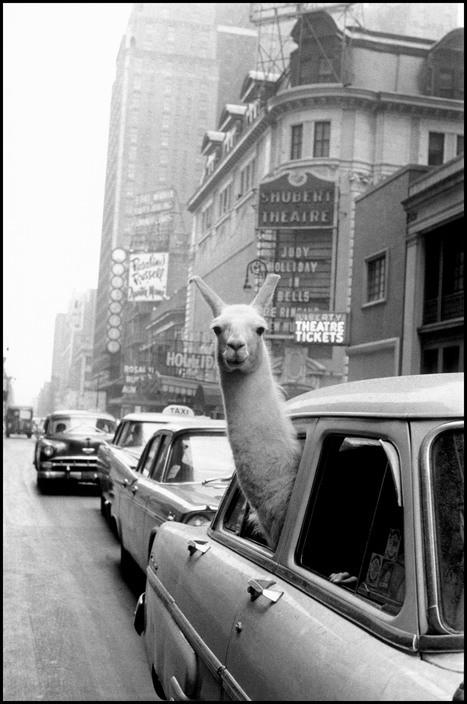 Esta imagem possuí um atributo alt vazio; O nome do arquivo é llama-in-times-square.jpg